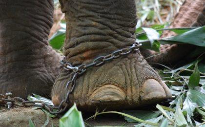 A chained Elephant
